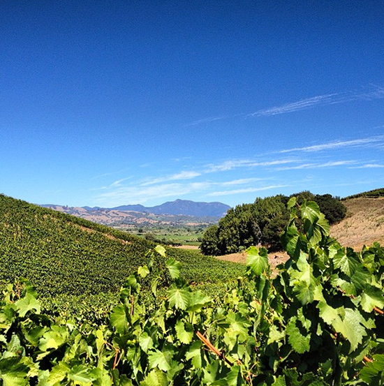 The view of Mt. St. Helena from Bucher Vineyard (credit: Thralls)