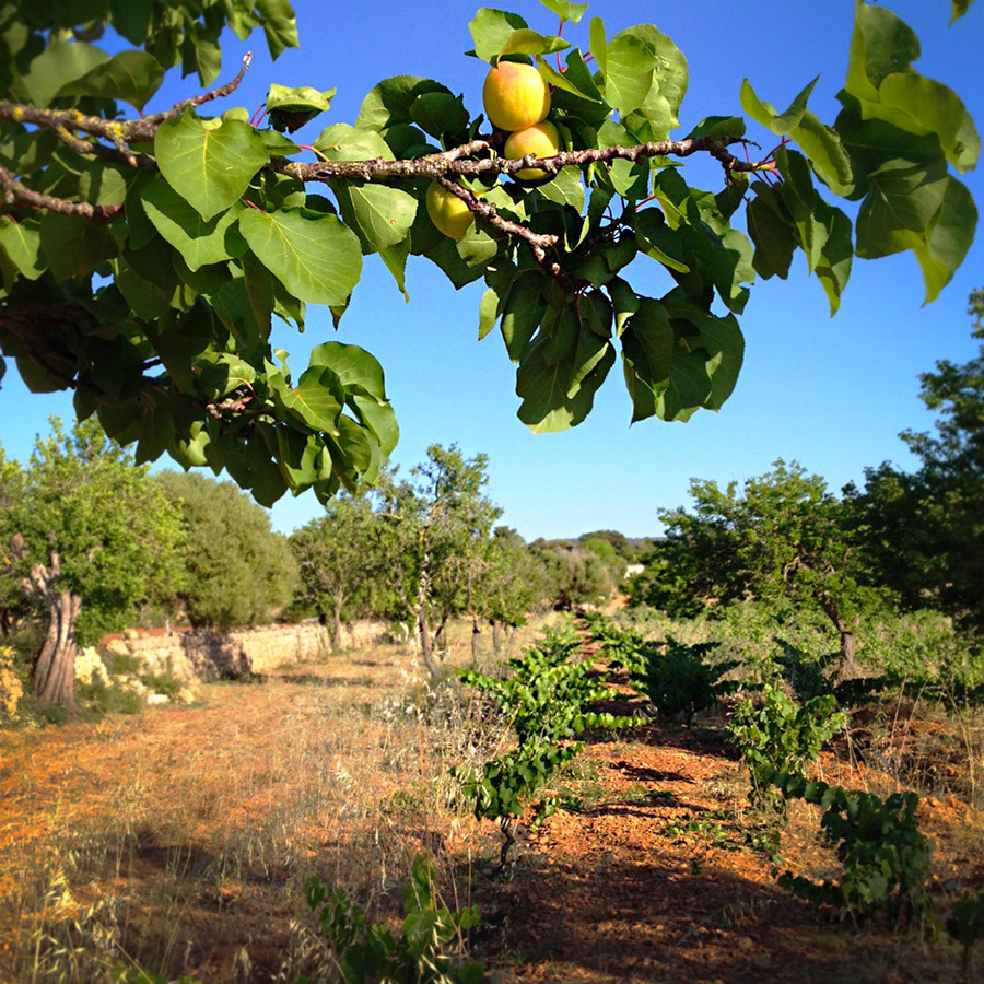Fruit trees in the vineyard