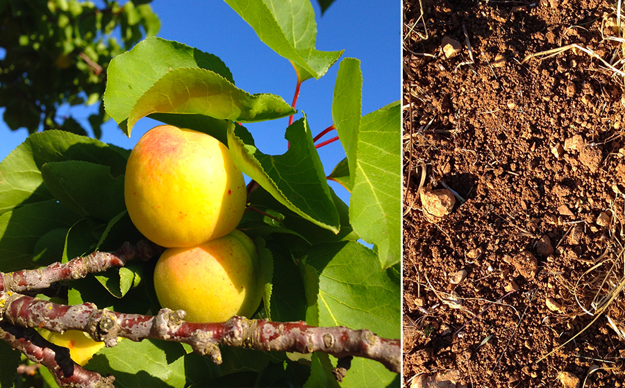 Stone fruit and vineyard soil