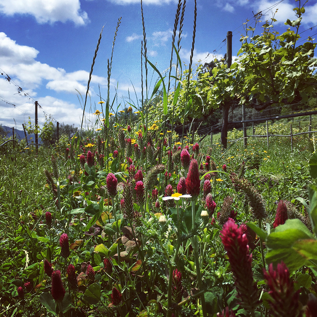 Cover Crops in a Loureiro Vineyard