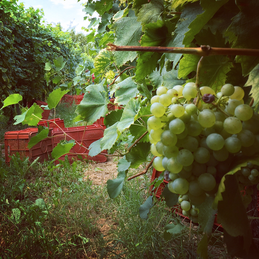 Glera grape harvest, Contrada Granda