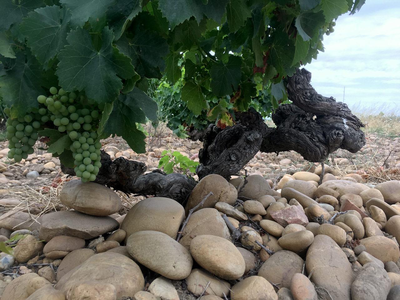 Grapevine in galet soils of Tavel