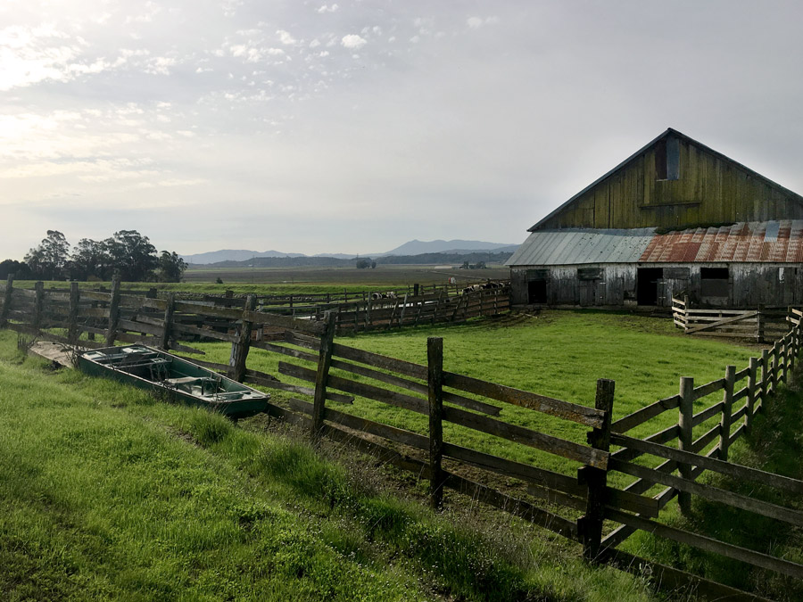 The approach to Blue Wing Vineyard passes a working dairy barn
