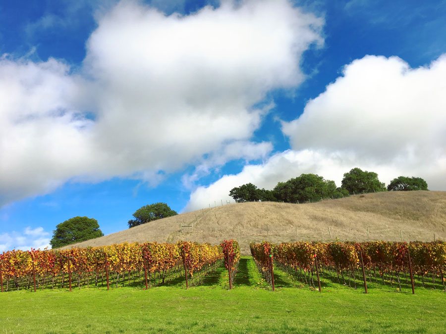 Sun Chase Vineyard in Petaluma Gap