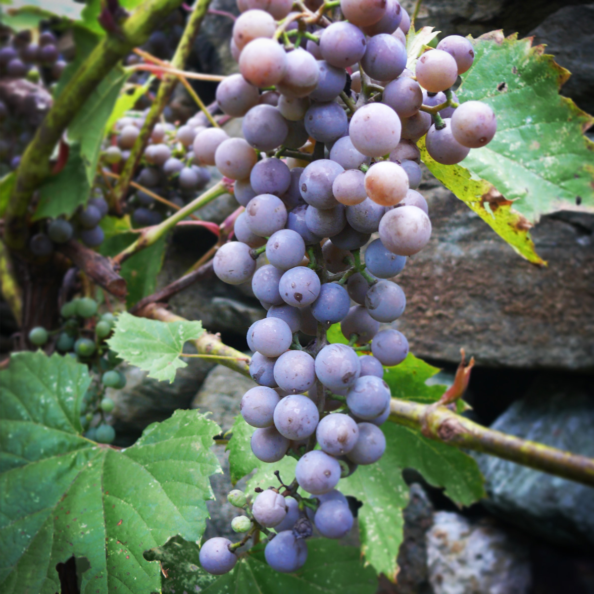 Frontenac Gris grapes at La Garagista in Barnard, Vermont