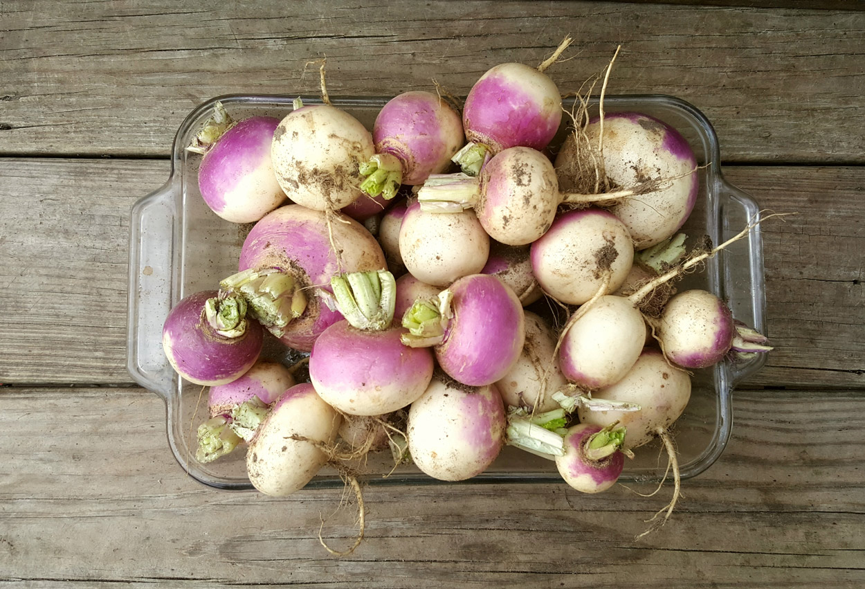 Italian purple-top turnips