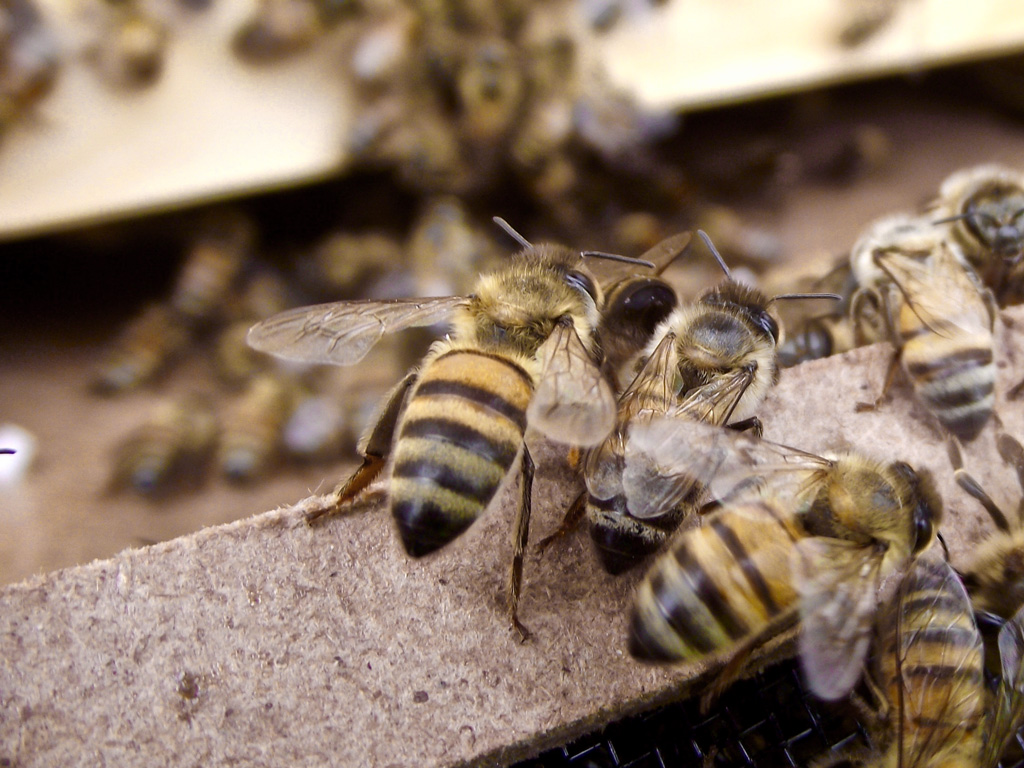 Natural beekeeping: Bees
