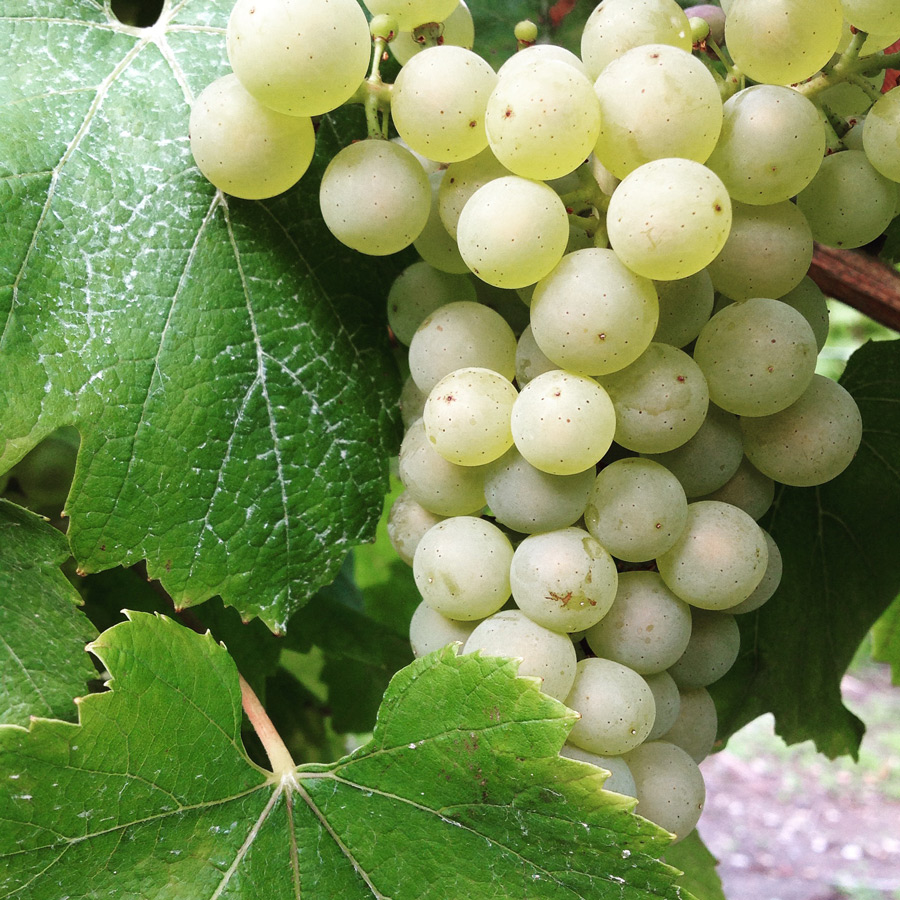 Chardonnay in the Côte des Blancs, Champagne