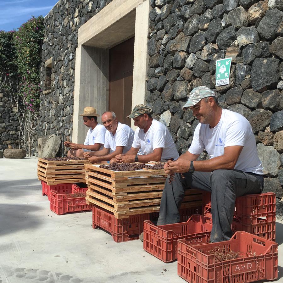 Harvest workers in Pantelleria