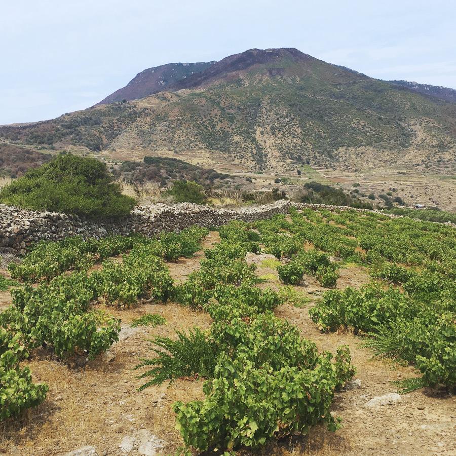 Pantelleria vineyard