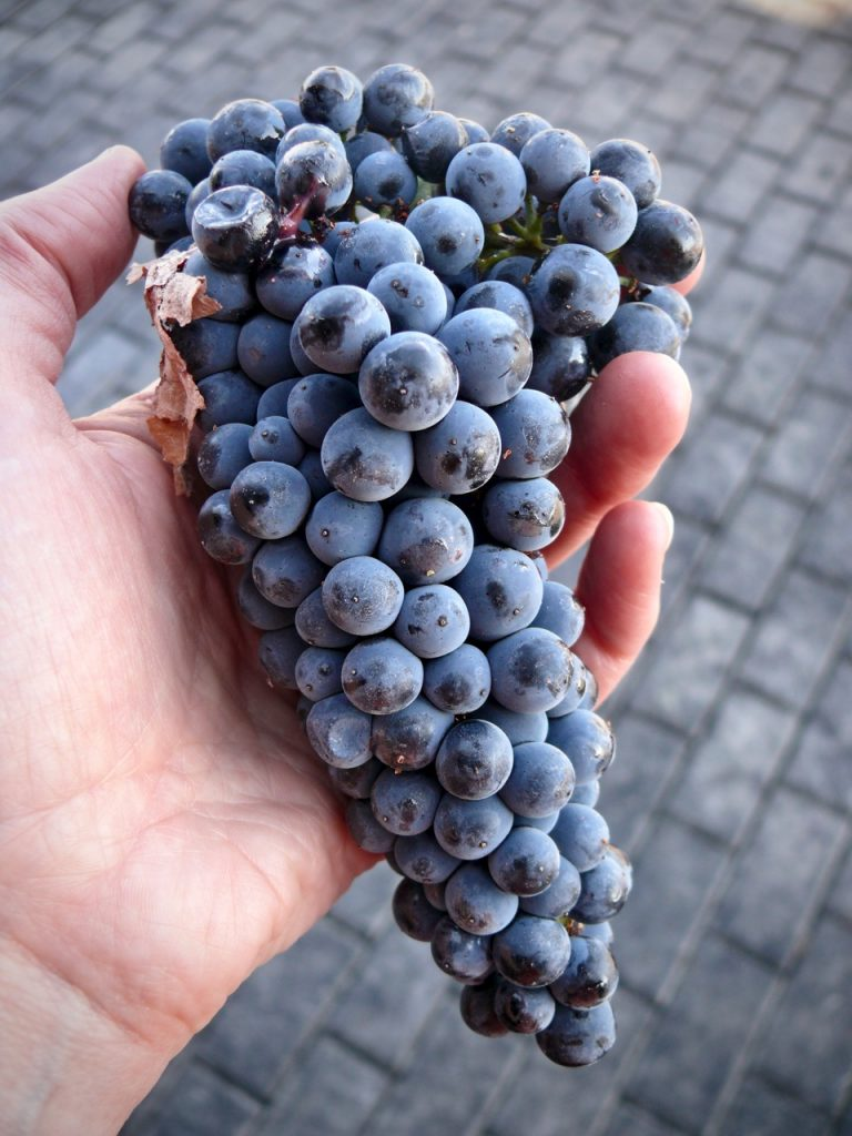 Grapes for port are deeply colored
