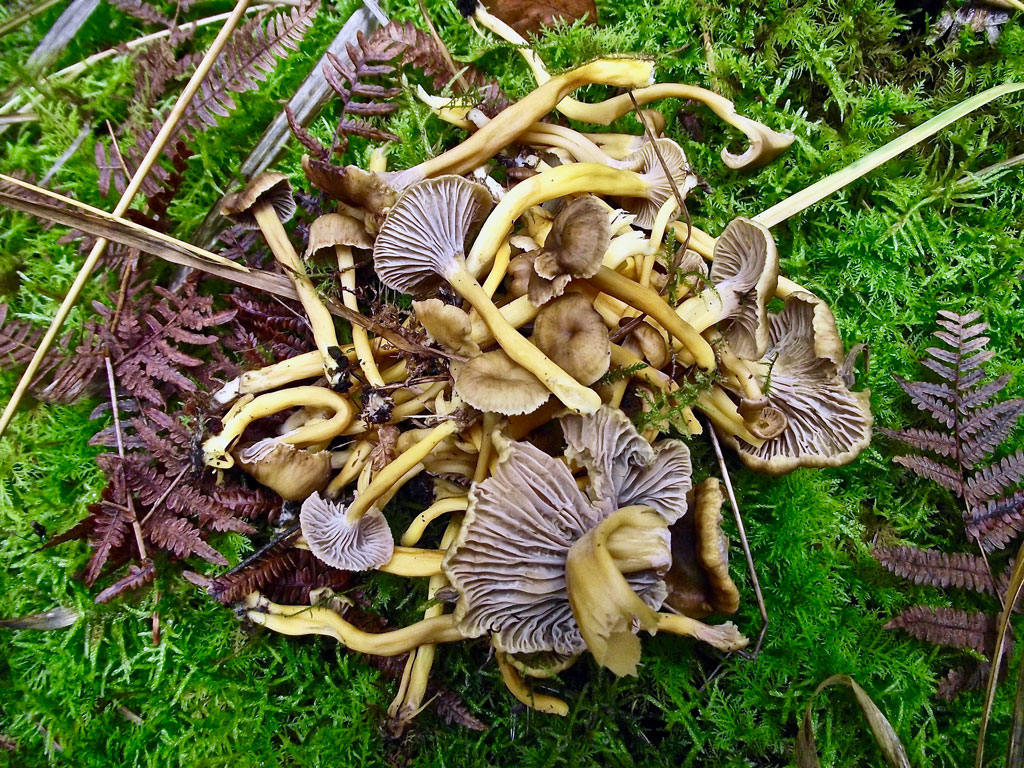 Winter chanterelle mushrooms