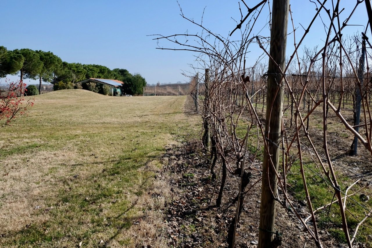 Vines just before pruning