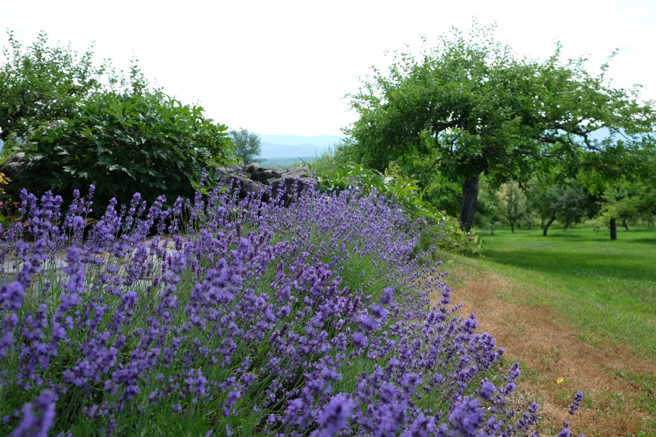Lavender along the patio