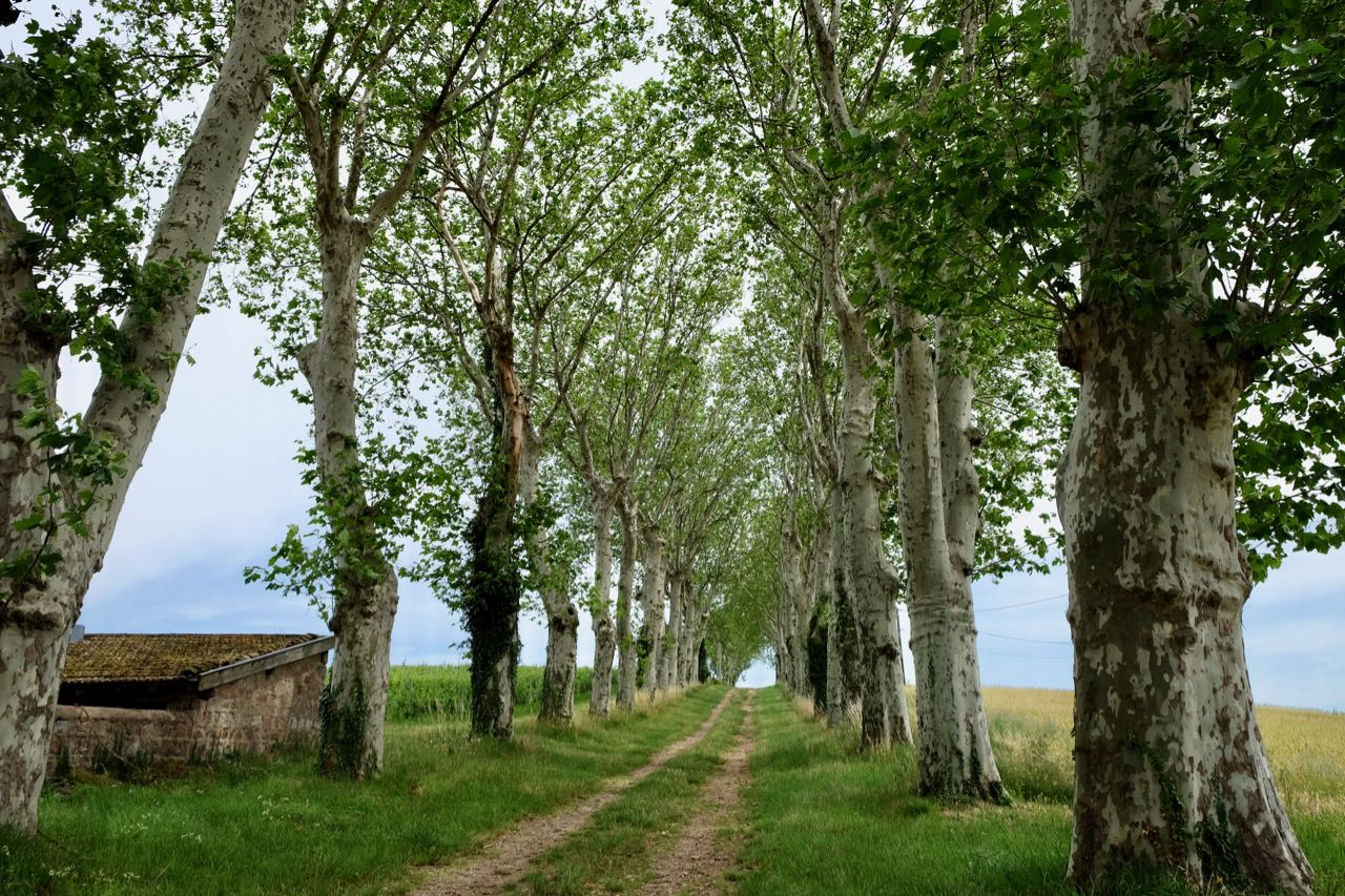 Plane trees lining the lane at Château de Poncié