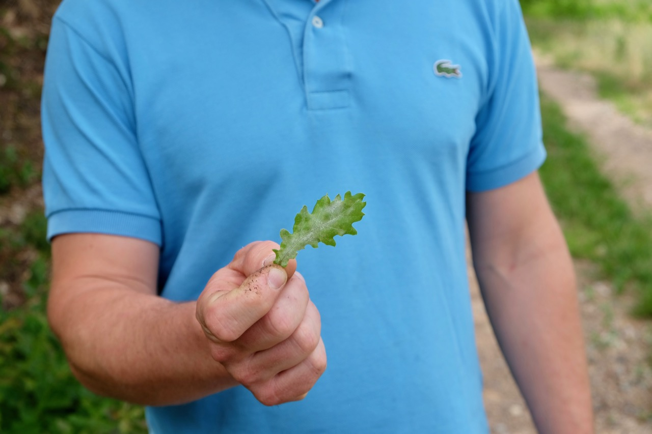 Joseph Bouchard with an oak leaf covered in powdery mildew at Château de Poncié