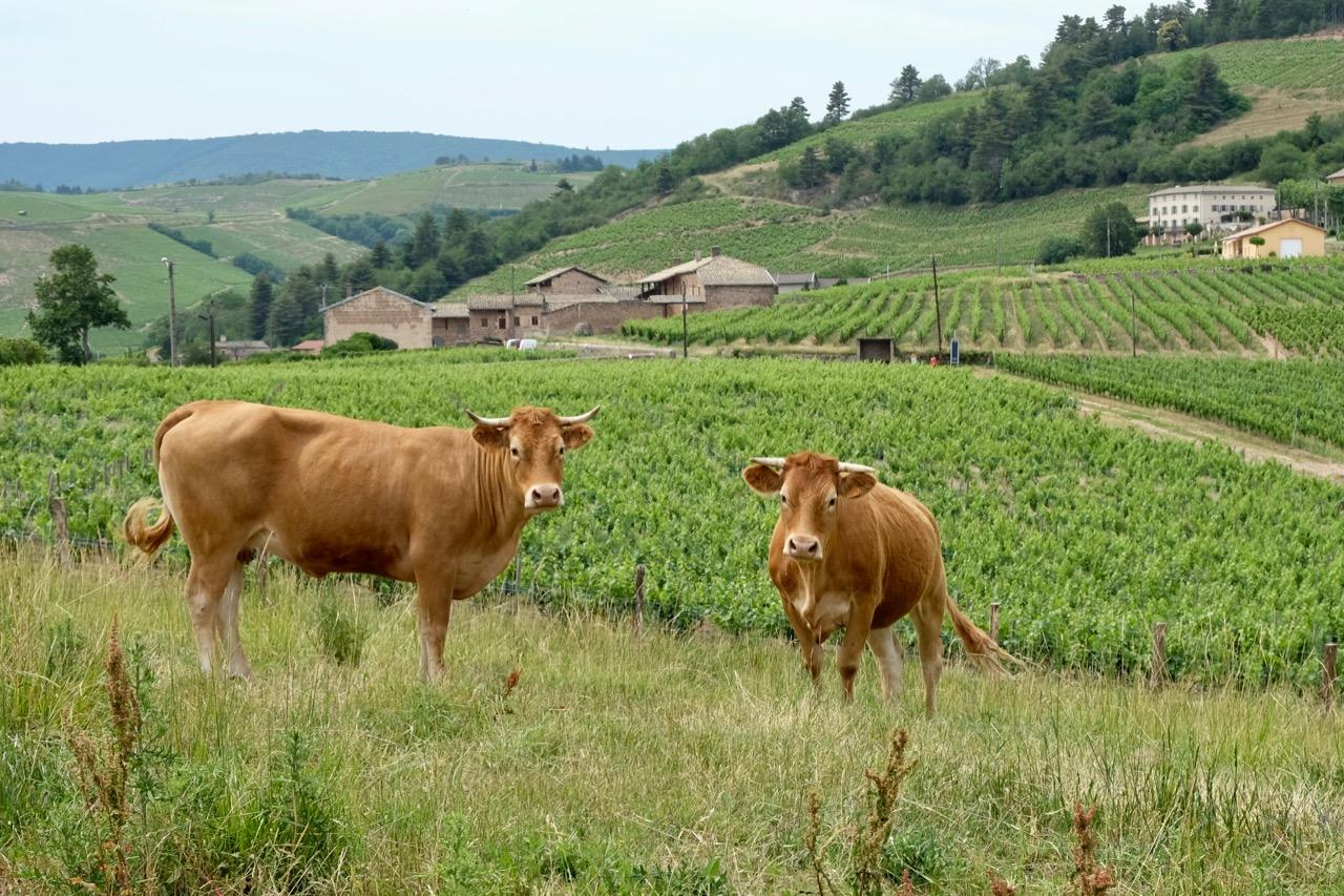 Limousin cows at Château de Poncié