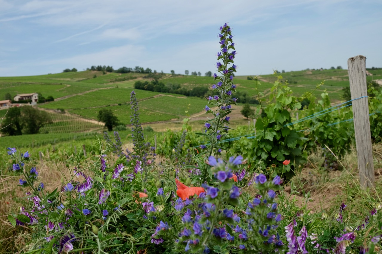 Cover crops, including vetch and viper's bugloss, between vine rows at Château de Poncié