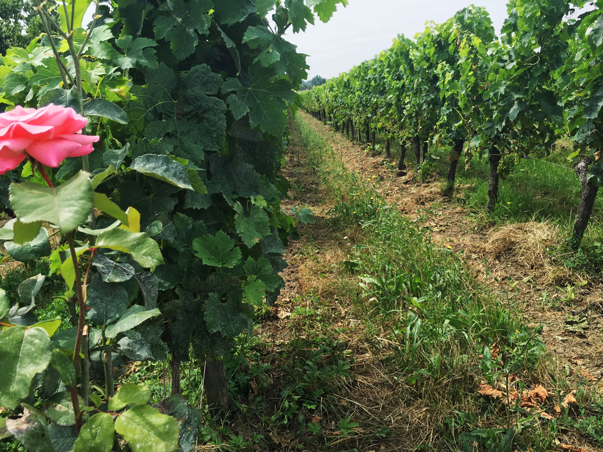 The vineyard at Rolland la Garde