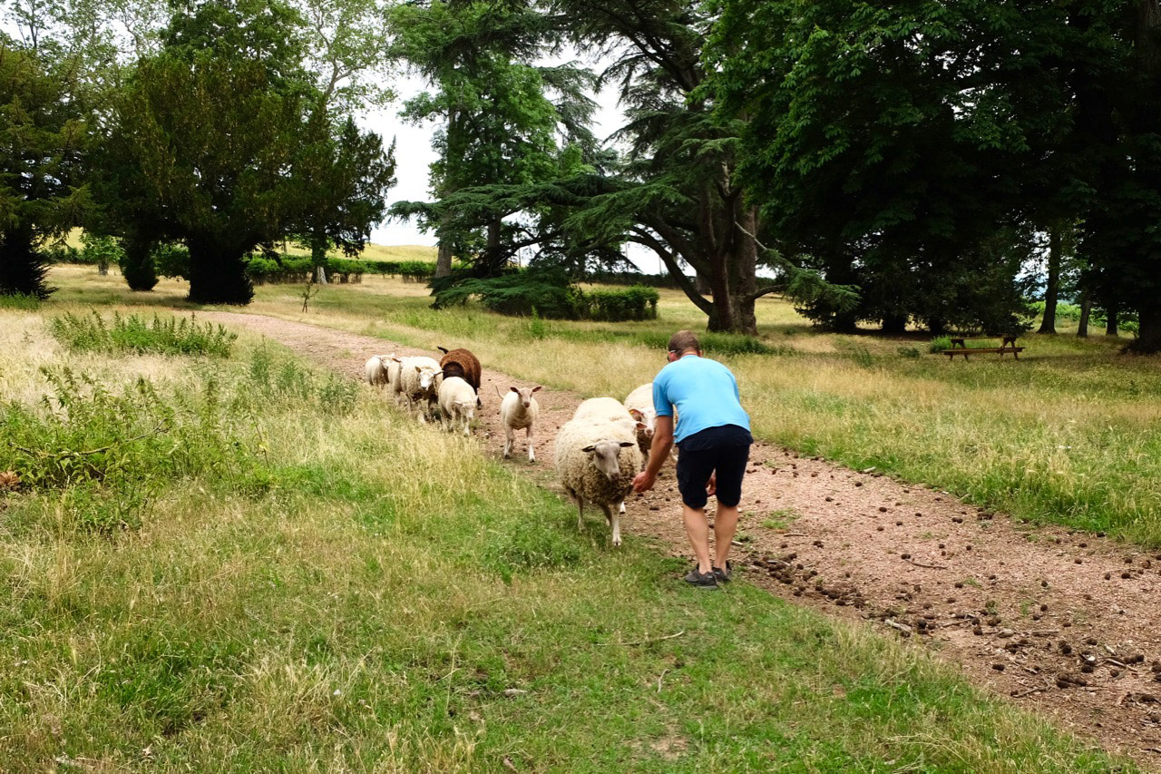 Sheep greet Joseph Bouchard at Château de Poncié