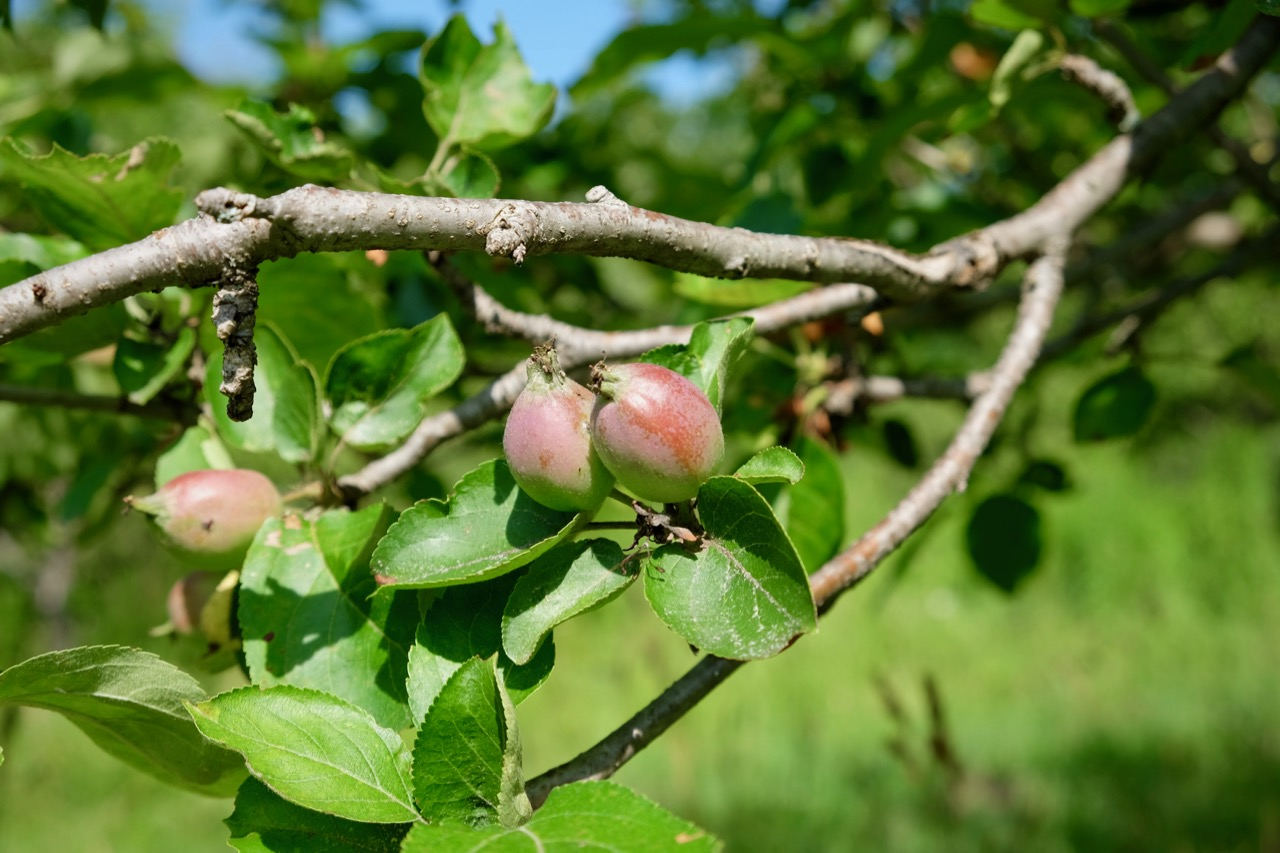Young apples in the orchard in Waitsfield, Vermont