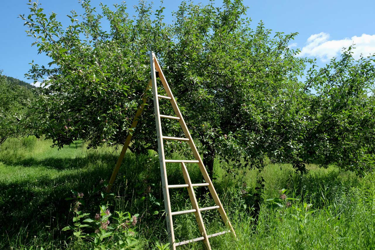 Teddy Weber's apple ladder