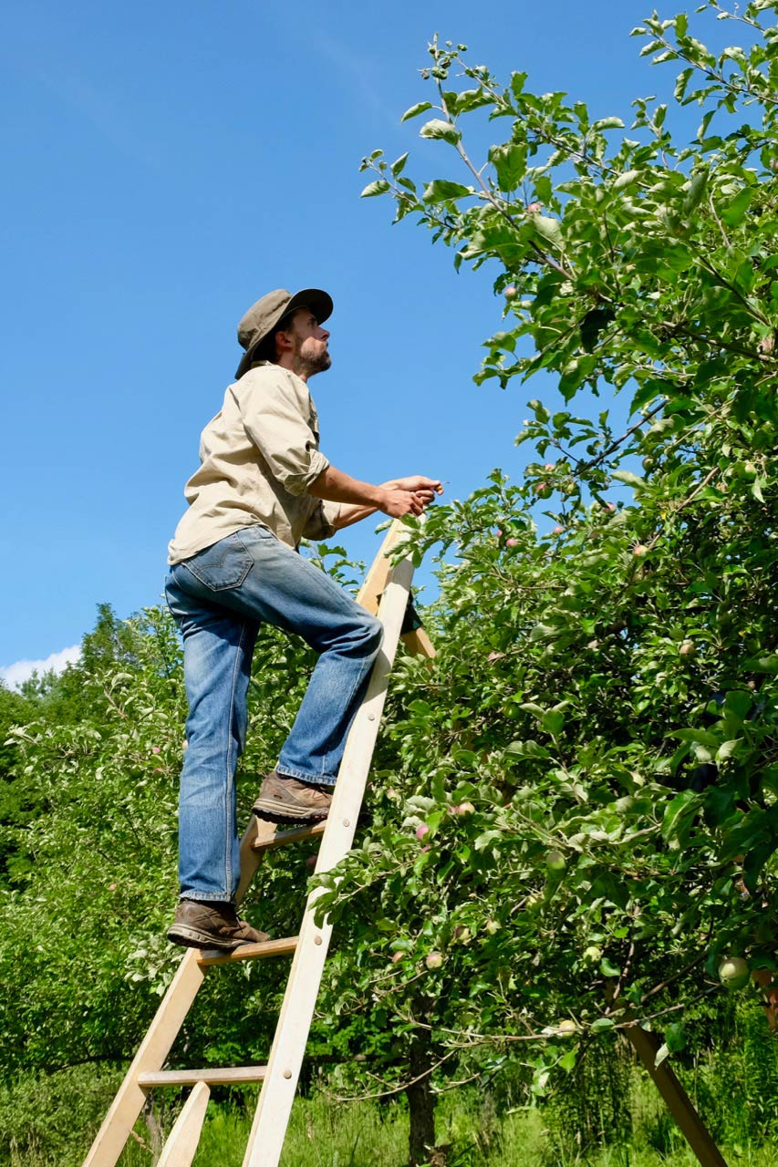 Teddy Weber on his apple ladder