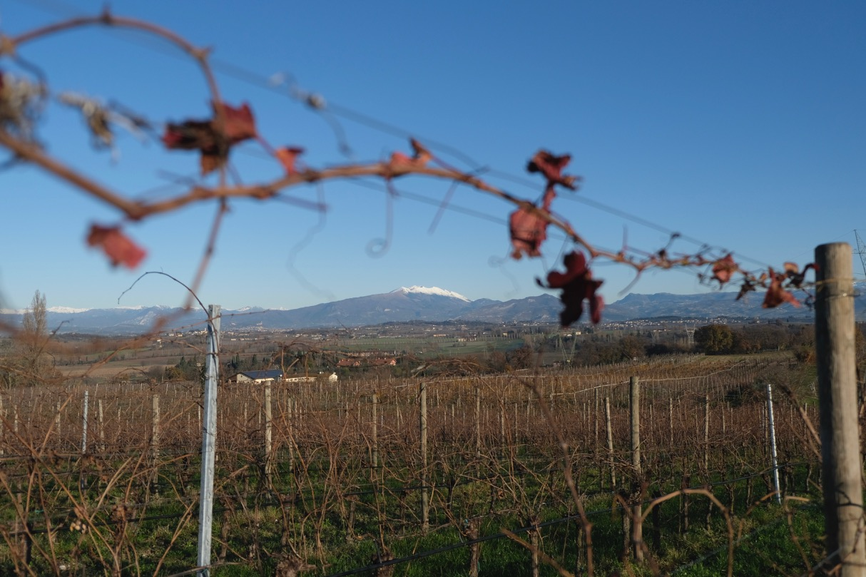 A view of the Dolomites through the Bardolino vines