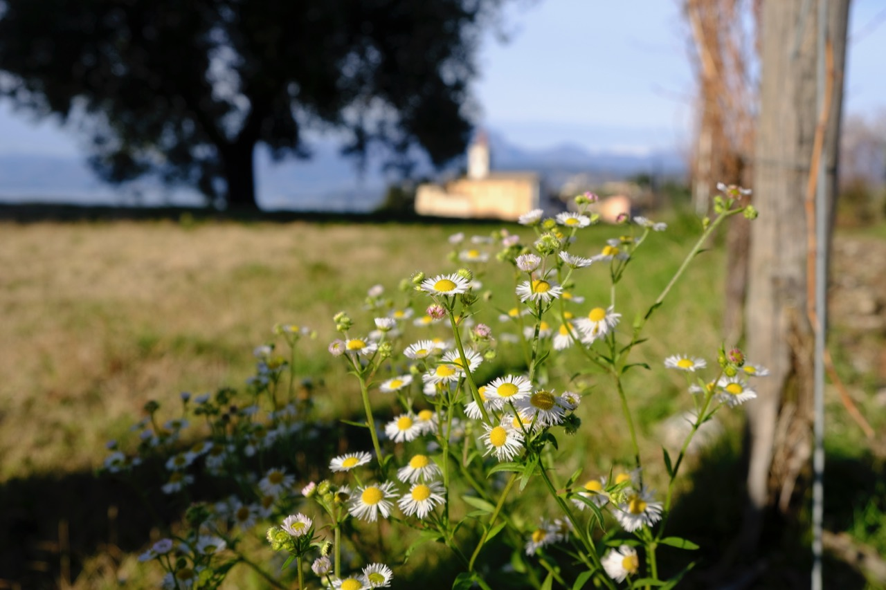 Asters in the biodynamic vineyard of Calicantus in Bardolino