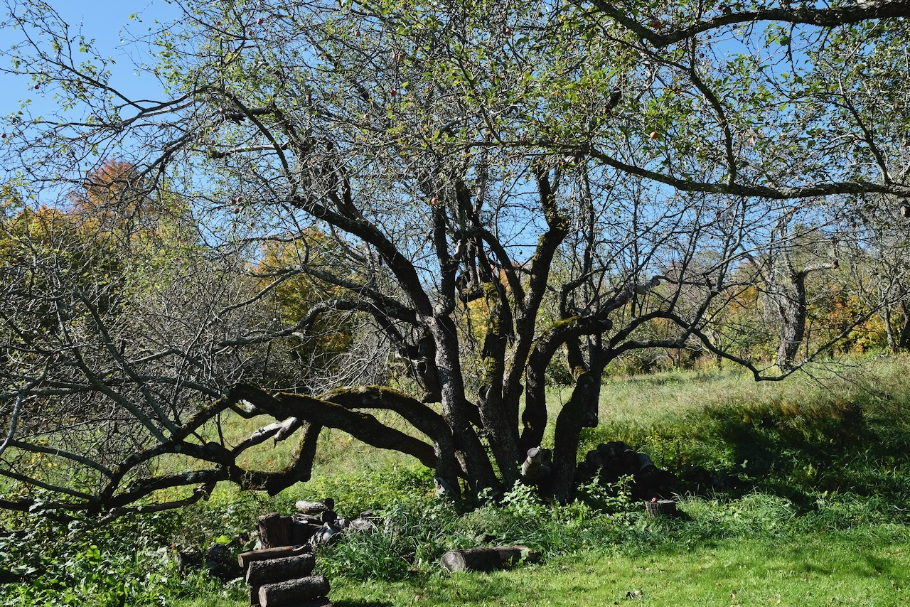 Ancient apple trees at Fable Farm