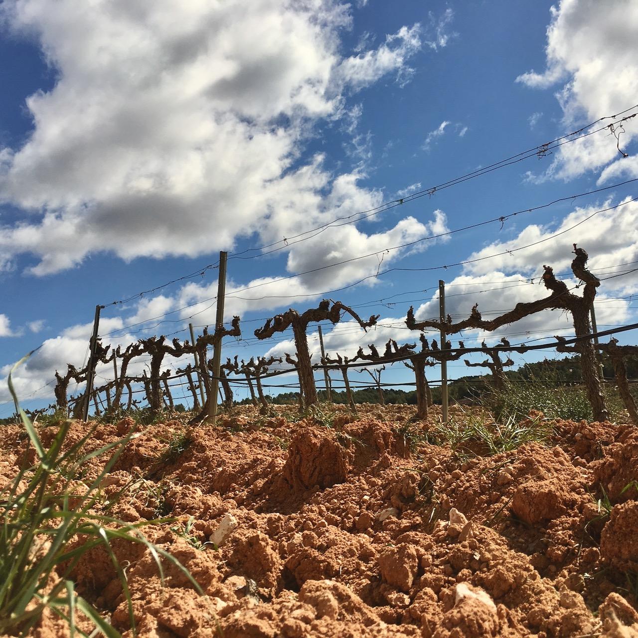Morlanda's old vines