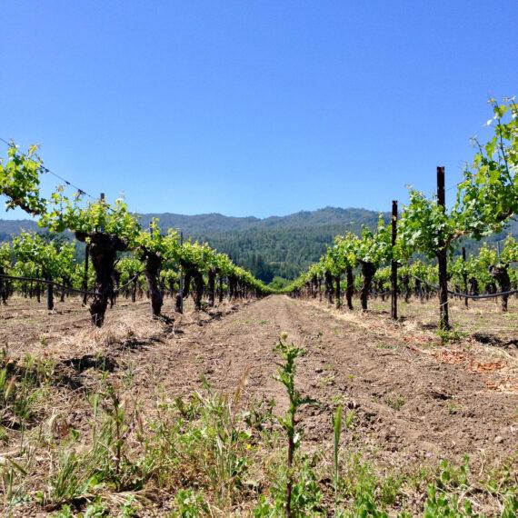 Corison's Kronos Vineyard in St. Helena, California