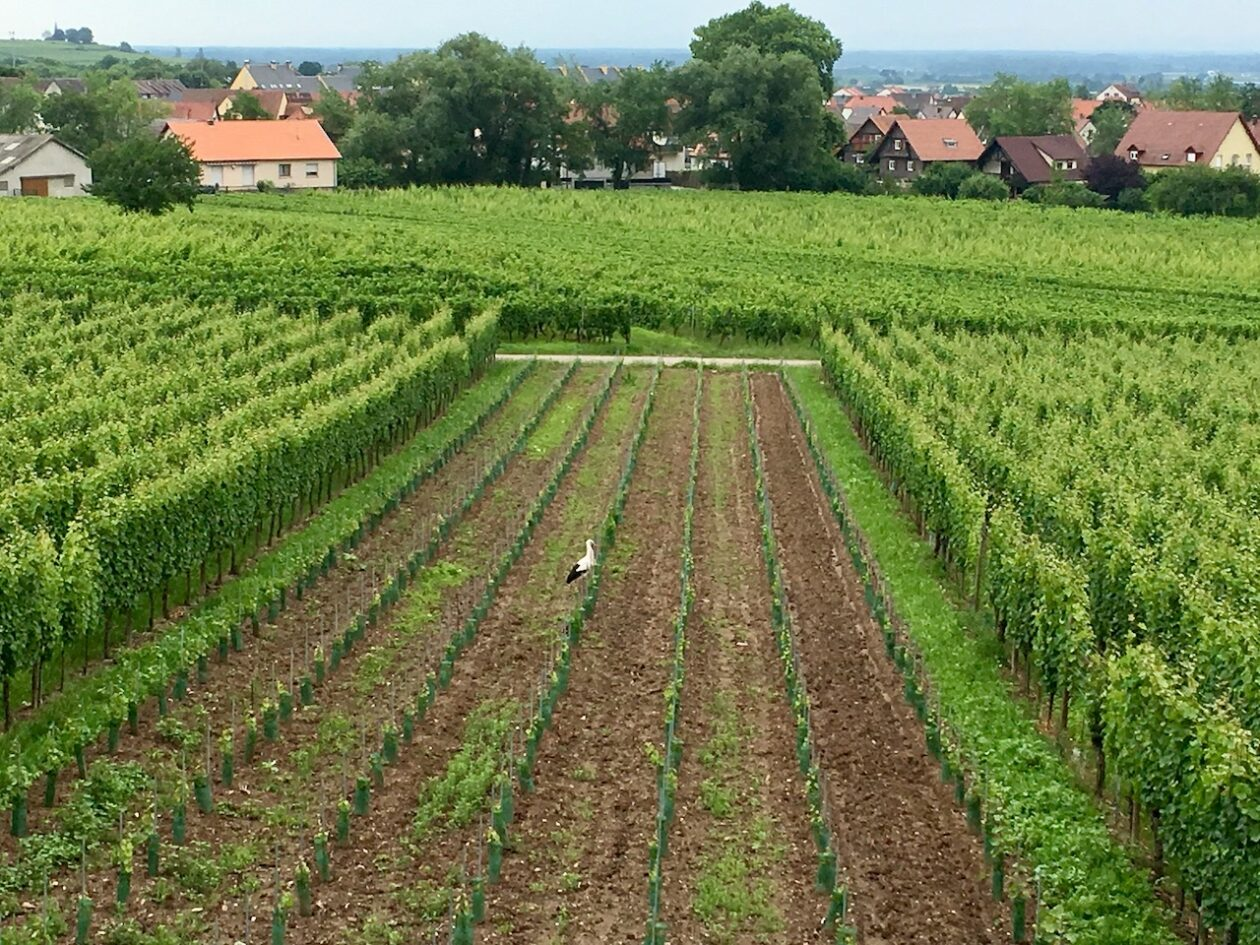 A stork in a vineyard in Ribeauville, Alsace