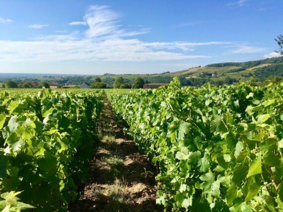 A vineyard in Juliénas