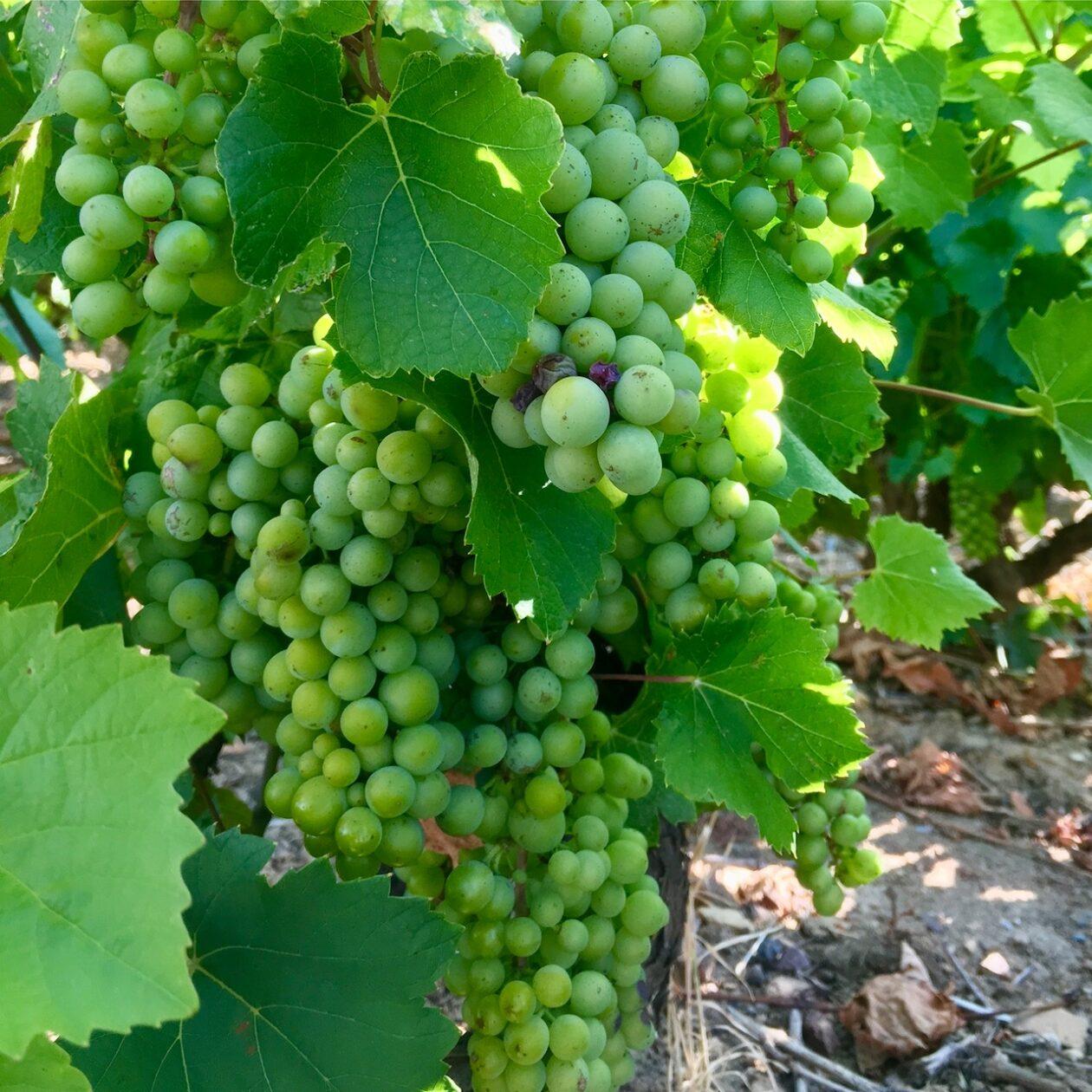 Gamay grapes in a Juliénas vineyard